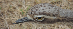 Curlews have an intense stare