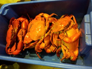 Mud Crabs Caught In Seaforth