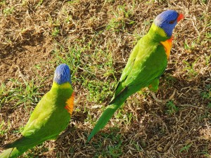 Some parrots going about their business