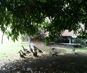 A flock of ducks under a tree