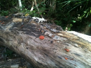 A fallen tree in Cape Hillsborough